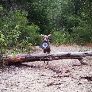 Charlie retrieving the Ninkasi frisbee.